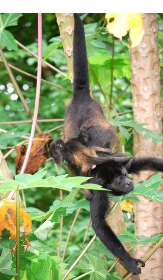 Baby Monkey hold on