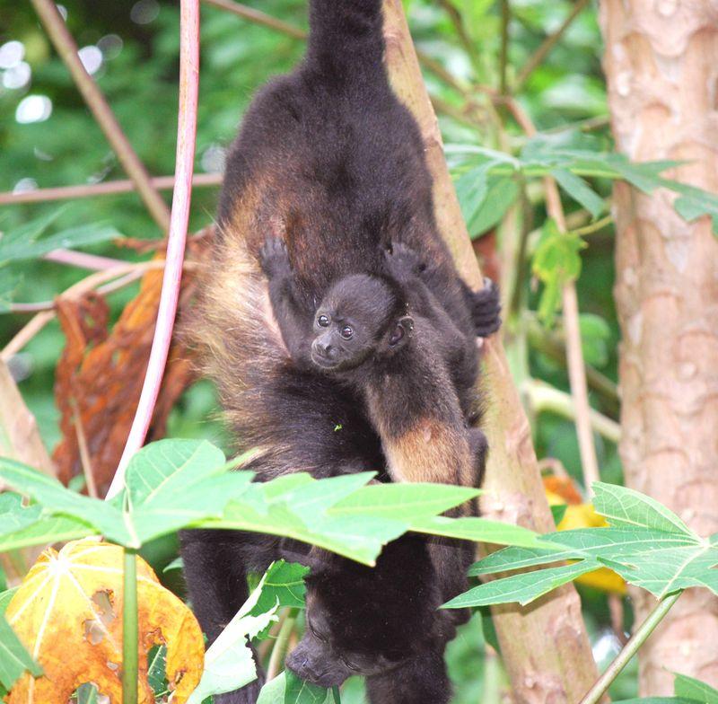 Baby monkey one