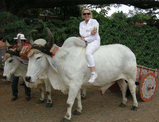 Oxen transport